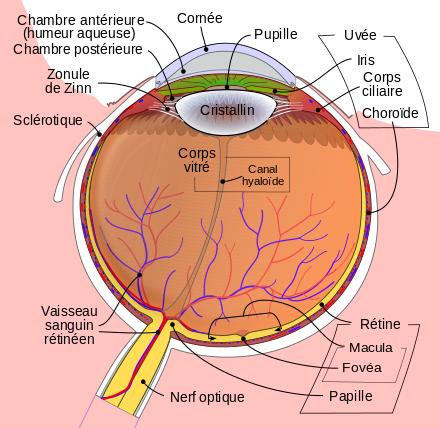Schematic_diagram_of_the_human_eye_fr.svg.png